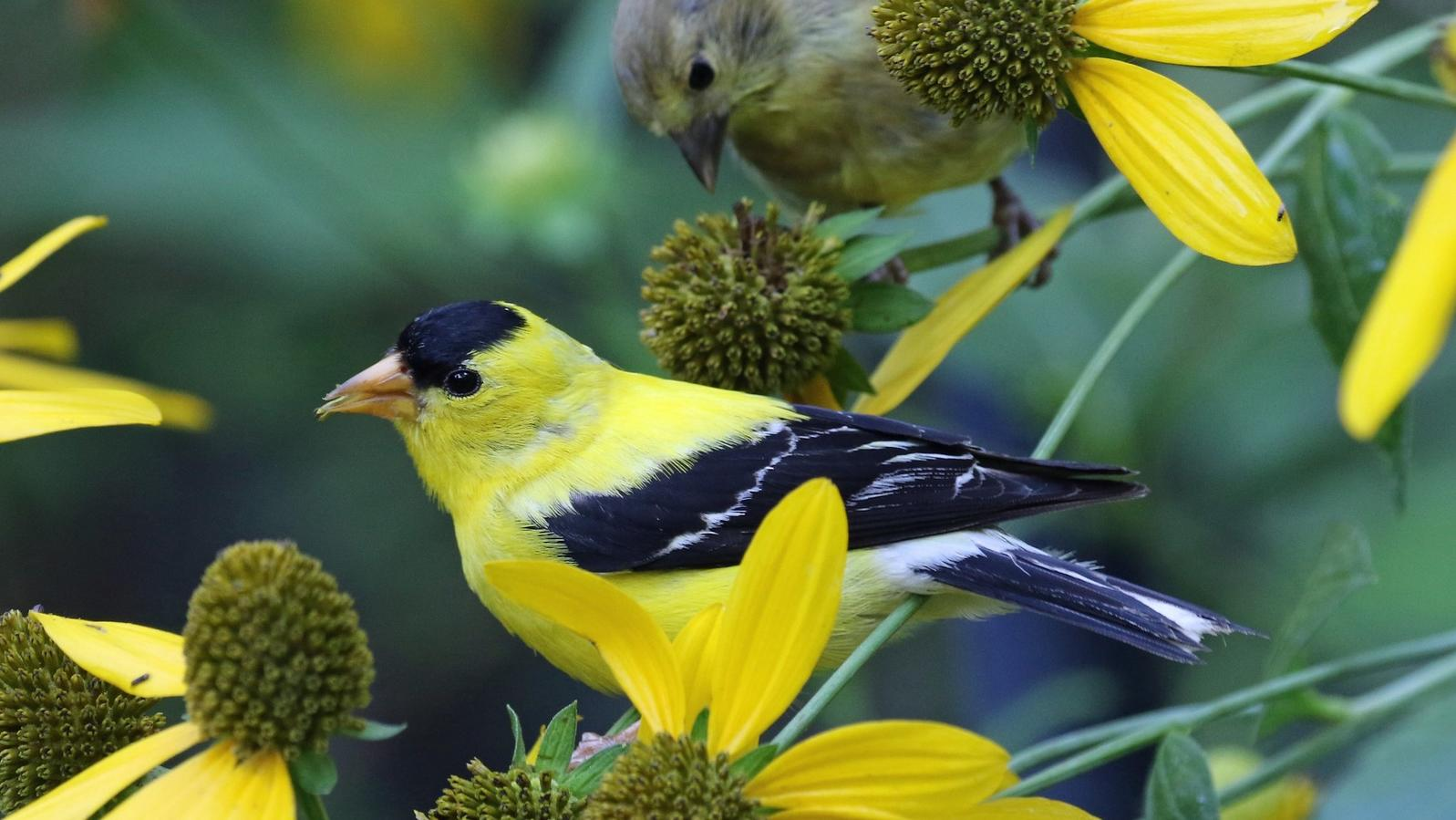 American Goldfinches and green-headed coneflower.