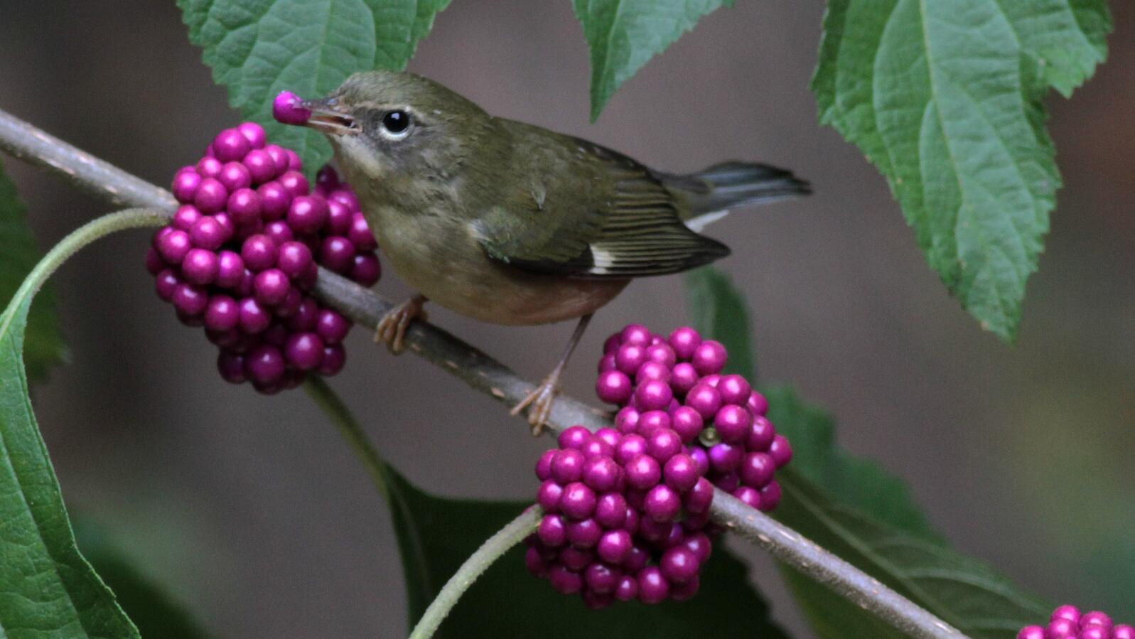 A Black-throated Blue Warbler dines on American beautyberry.
