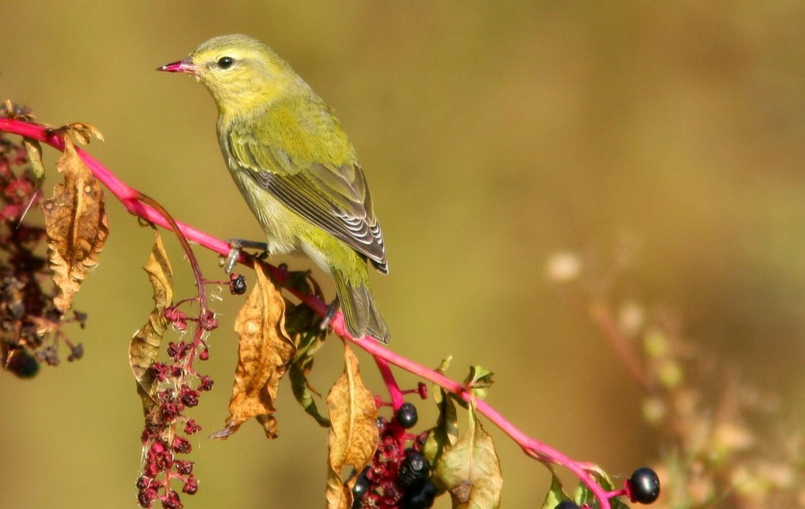 Tennessee Warblers eat more fruit and berries during fall migration.