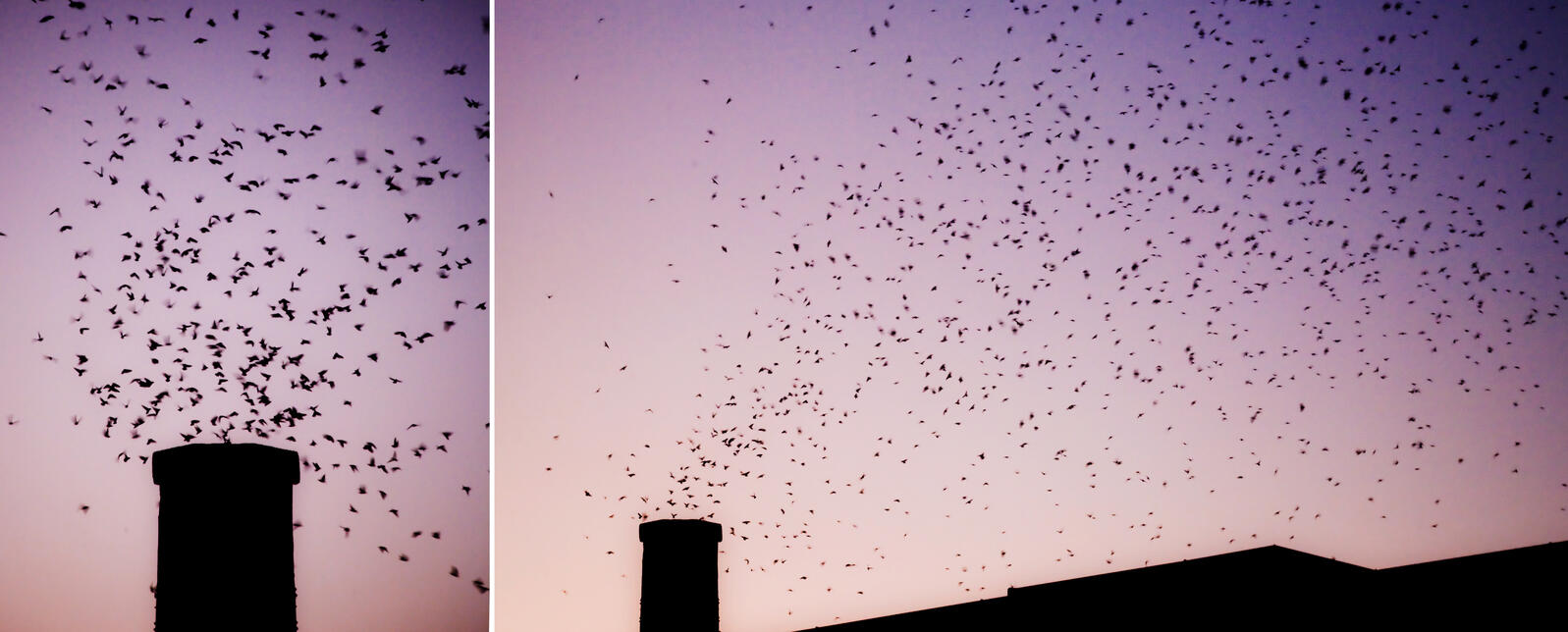 Chimney Swifts roost in the fall, before migrating to the Amazon River Basin.