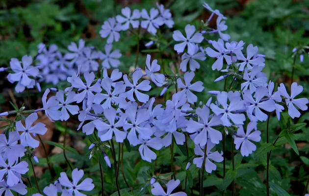 Phlox: A Sweet Addition To Any Woodland Garden