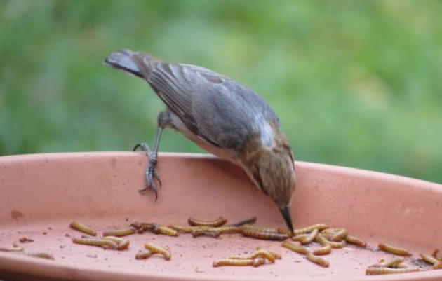 Why the Brown-headed Nuthatch matters