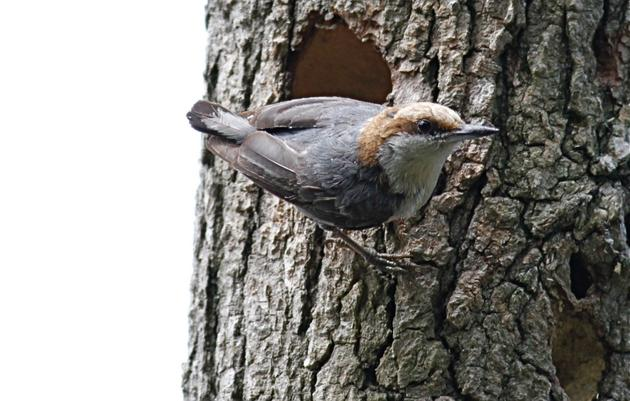 "Golf Courses Provide a ""Hole in One"" for Brown-headed Nuthatches"