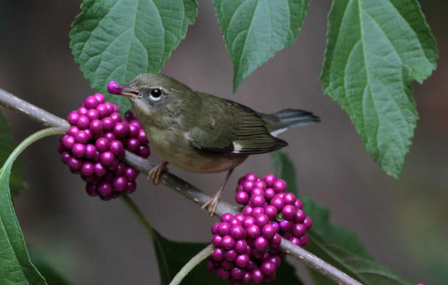 Plant Beautyberry for Birds