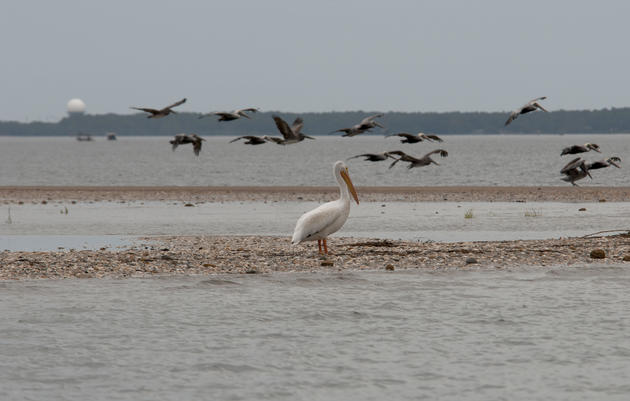 White Pelican Visits Rich Inlet