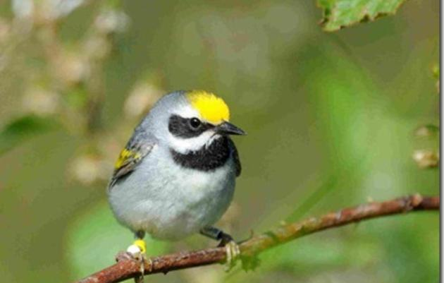 A Successful Year Monitoring Golden-winged Warblers in North Carolina