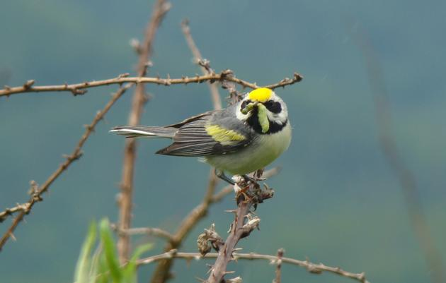 Collaborating for Protection of the Golden-winged Warbler: Why forests matter
