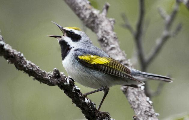 Saving North Carolina's Climate Threatened Birds