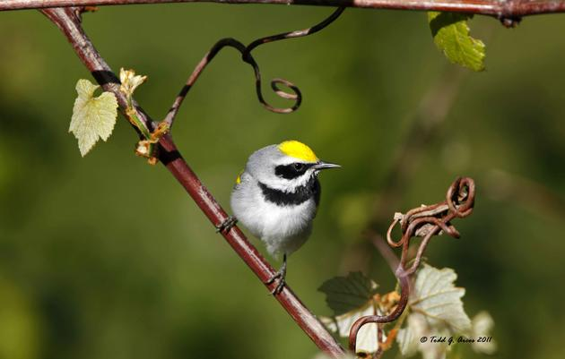 Golden-winged Warblers Return to the Mountains