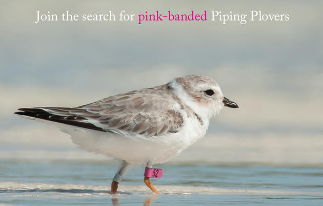 Join the Search for Pink-Banded Piping Plovers