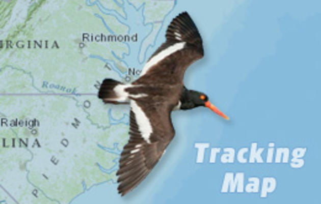 American Oystercatcher Tracking Project