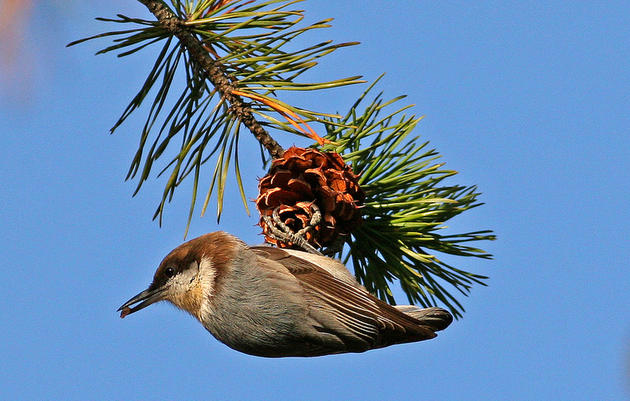 Make A Little Room for the Brown-headed Nuthatch