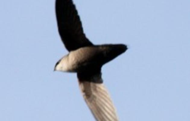 Take Swift Action to Help An Urban Bird