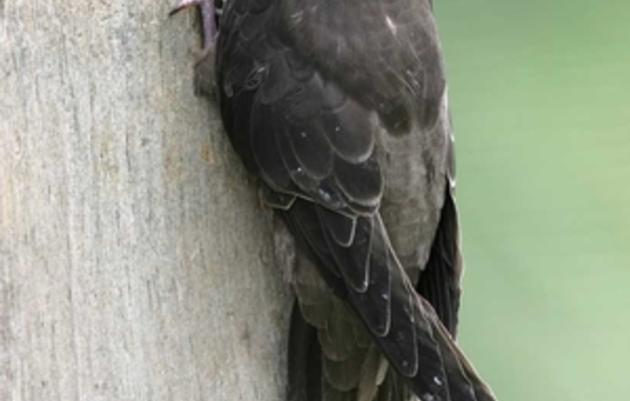 Make Your Chimney Swift-Friendly