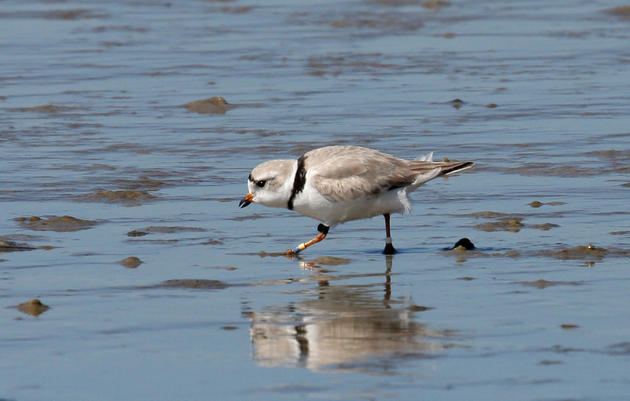 Bahamas-banded Piping Plover returns to Lea-Hutaff Island