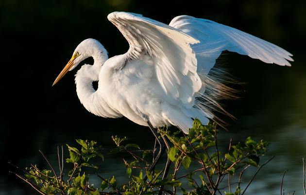 Priority Bird Profile: Great Egret