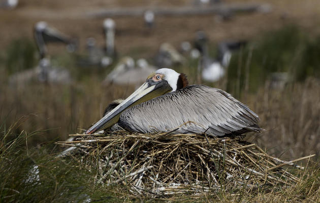 Nest Watch in 360: Pelicans, Terns and Ibis