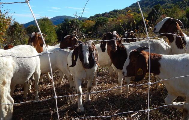 Goats Help Restore Golden-wing Habitat