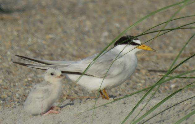 A Look Back at Nesting Season on the South End of Wrightsville Beach