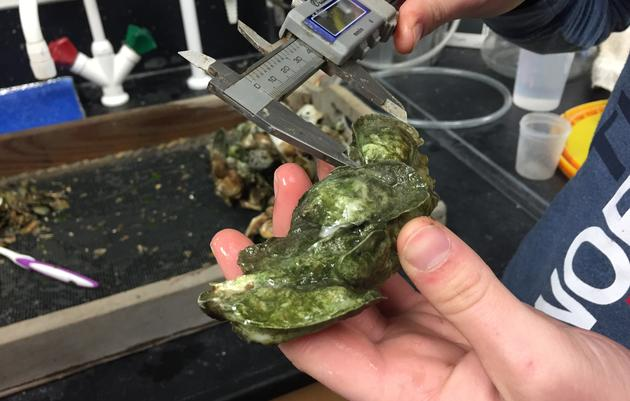 UNC-W Student Studies Oyster Health on the Lower Cape Fear River