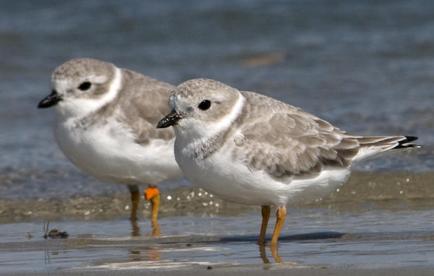 Priority Bird Profile: Piping Plovers