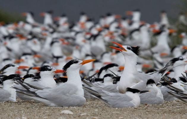 Habitat Management for the Cape Fear River Dredge Islands