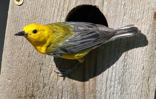 Help Us Save the Sweet Song of this Wandering Warbler