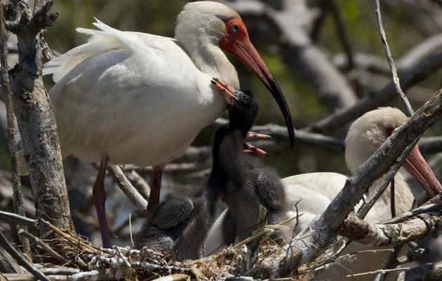 Priority Bird Profile: White Ibis