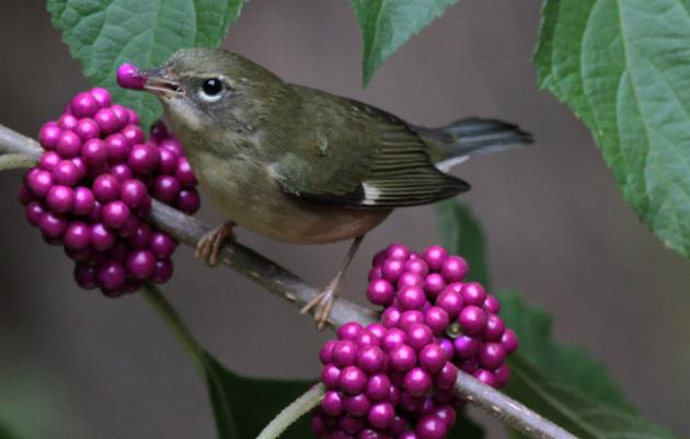 These Bird-Friendly Native Plants are Berry Special