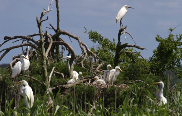 Cape Fear River Nesting Update