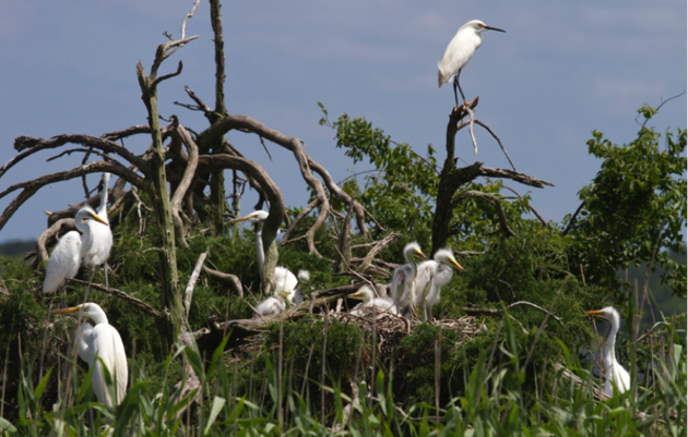 Cape Fear River Nesting Update
