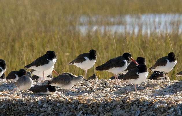 Oystercatcher class of '11 still using the Cape Fear River