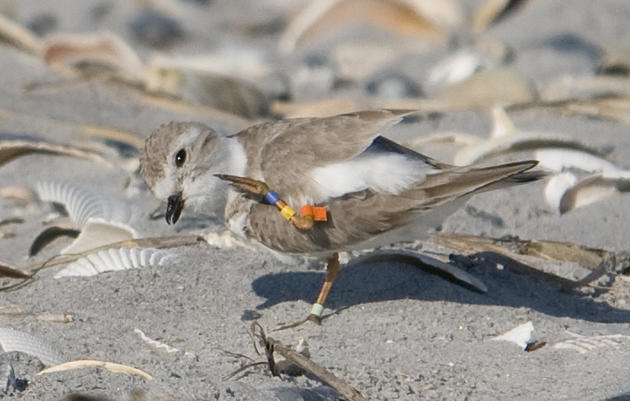 Great Lakes Piping Plover returns for third winter at Rich Inlet