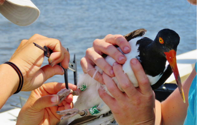 Oystercatcher Banding Day Part 2
