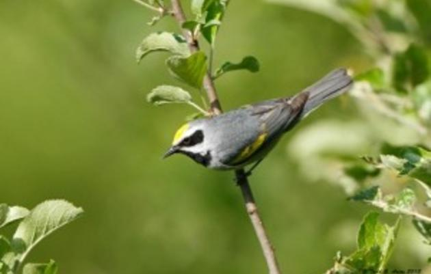 Advocating for Golden-winged Warbler Protections