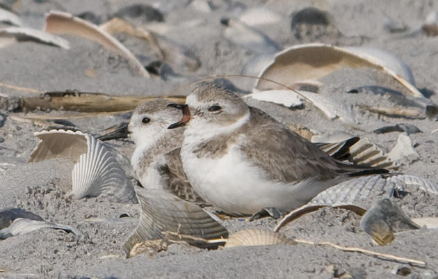 Piping Plovers use Lea-Hutaff Island year-round