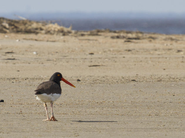 Quest for Banded Birds: The Next Generation of American Oystercatchers