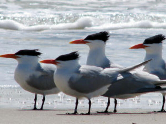 Pelicans, gulls and terns at N.C. beaches