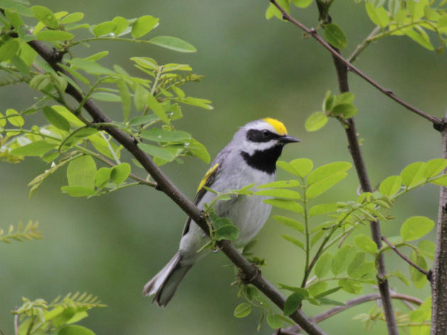 Welcoming Golden-winged Warblers to a Working Farm