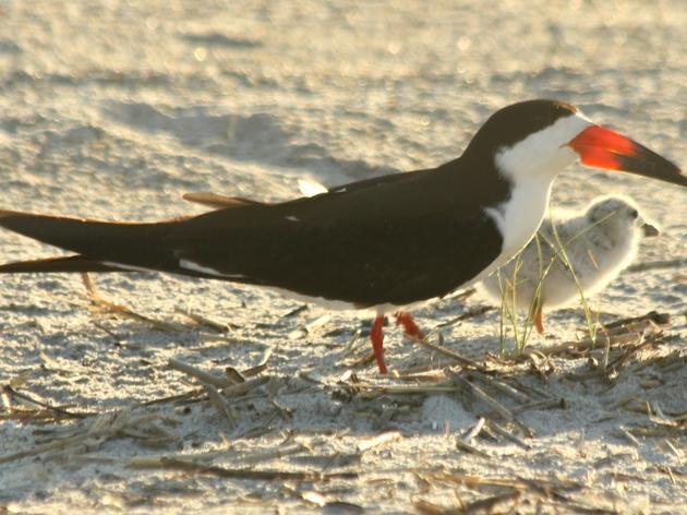 Meet the Black Skimmer!