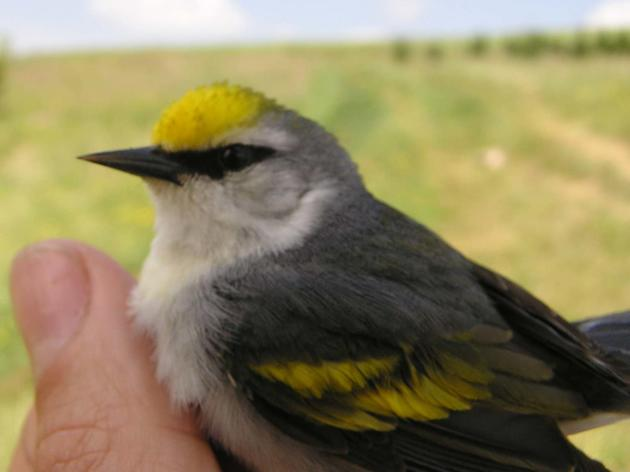 Collaborating for Protection of the Golden-winged Warbler: Next steps