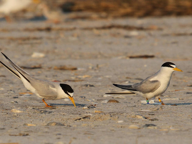 Quest for Banded Birds: An Opportunistic Least Tern