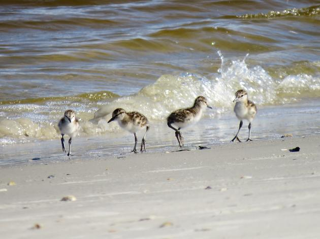 Sighting of Willet Chicks