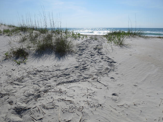 Sea Turtle Nests at Mason Inlet