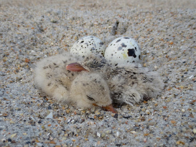 Abby Censuses Black Skimmer and Least Tern Nests