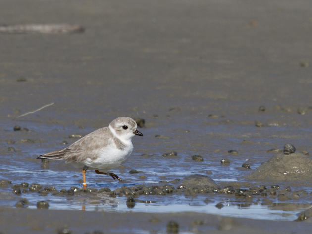 Quest for Banded Birds: A Wintering Piping Plover