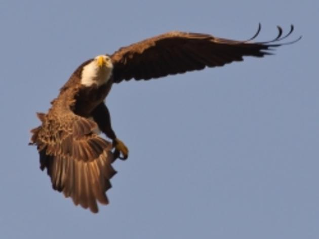 Audubon Opposes Interior Department Rule Allowing Eagles Deaths From Wind Farm Developments