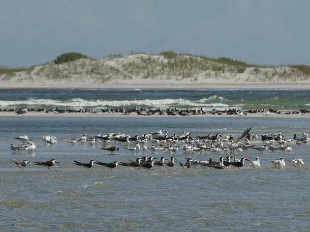 Fall Shorebird Surveys Bring a Variety of Migrants to the Coast