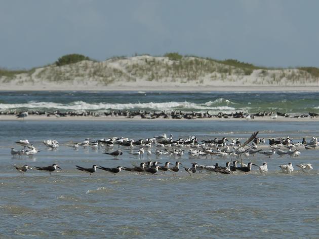 Fall Shorebird Surveys Bring a Variety of Migrants to the Coast