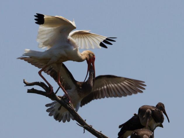 Cape Fear River Nesting Update Part 2